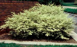 Picture of Variegated Chinese Privet (Ligustrum sinensis 'Variegata') shrub form.