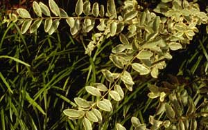 Picture closeup of Variegated Chinese Privet (Ligustrum sinensis 'Variegata') leaves showing variegation white edges on leaves.