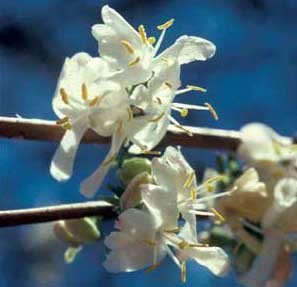 Picture closeup of Winter Honeysuckle (Lonicera fragrantissima) white flower structure.