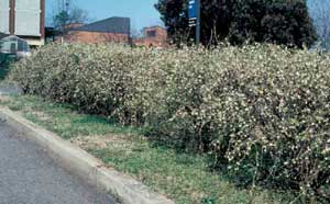Picture of Winter Honeysuckle (Lonicera fragrantissima) shrub form in hedge.