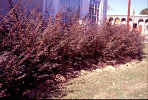 Picture of Chinese Fringeflower (Loropetalum chinense) 'Plum Delight' shrub form in burgandy colored foliage.