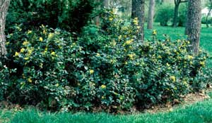 Picture of Oregon Hollygrape (Mahonia aquifolium) shrub form with yellow flowers.