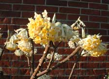 Picture closeup of Paperbush (Edgeworthia chrysantha) flower.