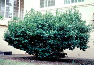 Picture of Common Cherrylaurel (Prunus laurocerasus) green shrub form.