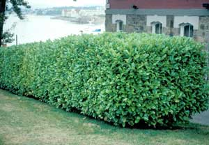 Picture of Common Cherry Laurel (Prunus laurocerasus) in hedge row form.
