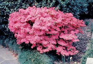 Picture of Azalea (Rhododendron sp.) shrub form covered in pink flowers.
