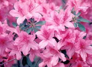 Picture closeup of Azalea (Rhododendron sp.) pink flowers.