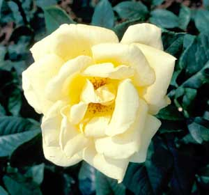Picture closeup of Hybrid Tea Rose (Rosa sp.) pale yellow flower. Flower example.