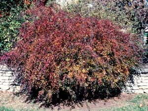 Picture of Vanhoutte Spirea (Spiraea x vanhouttei) shrub form in purple-orange fall color.