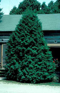 Picture of Eastern Arborvitae (Thuja occidentalis) shrub form.
