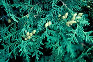 Picture closeup of Eastern Arborvitae (Thuja occidentalis) young greenish-yellow fruit and needle leaf structure.