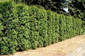 Picture of Eastern Arborvitae (Thuja occidentalis) hedge row form.