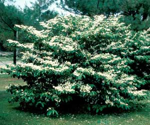Picture of Doublefile Vibrnum (Viburnum placatum var. tomentosum) green shrub form covered with white flowers.