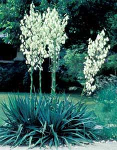 Picture of Yucca (Yucca filamentosa) form with tall flower stalks bearing white flowers.