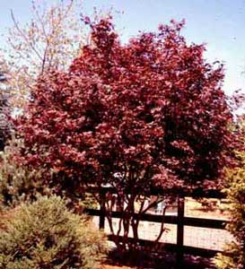 Picture of Japanese Redleaf Maple (Acer palmatum var. atropurpureum) trees showing form and red leaf color.