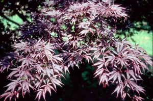Picture of Japanese Redleaf Maple leaves (Acer palmatum var. atropurpureum) showing deep red color and leaf structure.
