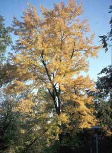 Picture of Silver Maple (Acer saccharinum) form in yellowish fall color.