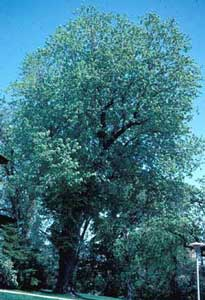 Picture of Silver Maple (Acer saccharinum) tree form.