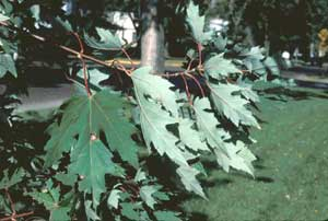 Picture of Silver Maple (Acer saccharinum) leaf structure showing distinctive 'silver' undersides.