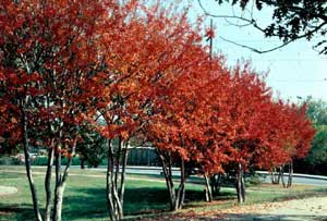 Picture of Crapemyrtle (Lagerstroemia indica) tree row showing dark orange fall color.