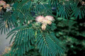 Picture of Mimosa (Albizia julibrissin) leaves, flowers and fruit.