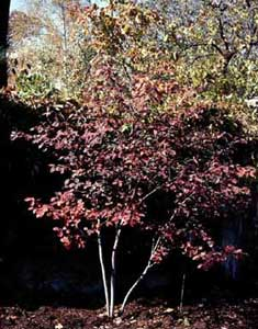 Picture of small Shadblow (Amelanchier canadensis) tree in fall color