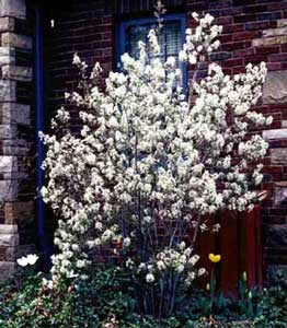 Picture of small Shadblow (Amelanchier canadensis) tree with white spring flowers