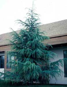 Picture of Deodar Cedar (Cedrus deodara) tree form.