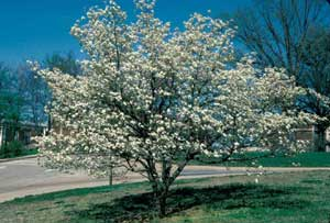 Picture of Eastern Flowering Dogwood (Cornus florida) tree form in bloom with white flowers.
