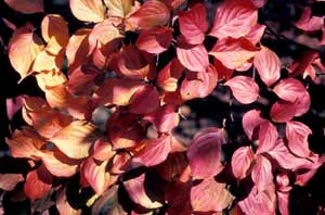 Picture closeup of Kousa Dogwood (Cornus kousa) orange/red leaves in fall color.