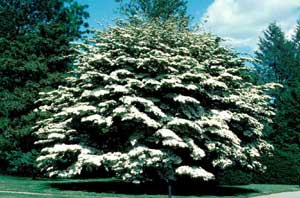 Picture of Kousa Dogwood (Cornus kousa) tree form with white spring flowers.