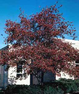 Picture of Washington Hawthorn (Crataegus phaenopyrum) tree form in fall color with red fruit.
