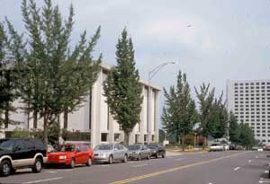 Picture of Ginkgo (Ginkgo biloba) trees lining city street and buildings in commercial landscape example.