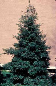 Picture of American Holly (Ilex opaca) in young form