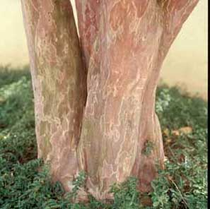 Picture of Crapemyrtle (Lagerstroemia indica) bark showing exfoliation patterns.