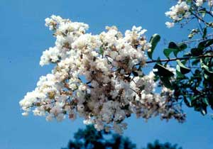Picture of Crapemyrtle (Lagerstroemia indica) flower cluster of white flowers.