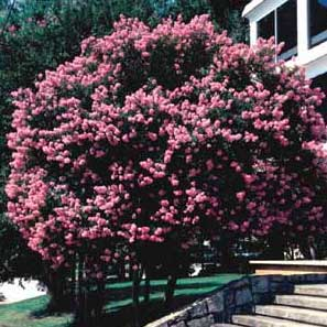 Picture of Crapemyrtle (Lagerstroemia indica) form with flowers.