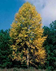 Picture of Tuliptree (Liriodendron tulipifera) form in yellow fall color.