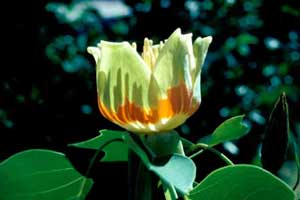 Picture closeup of Tuliptree (Liriodendron tulipifera) flower structure showing bands of orange and green.