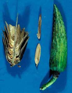 Picture of Tuliptree (Liriodendron tulipifera) fruit pods in different sizes.