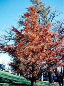 Picture of Dawn Redwood (Metasequoia glyptostroboides) tree in fall orange color.