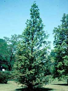 Picture of Dawn Redwood (Metasequoia glyptostroboides) tree form.