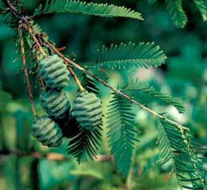 Picture of Dawn Redwood (Metasequoia glyptostroboides) fruit.