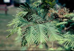 Picture of Dawn Redwood (Metasequoia glyptostroboides) needle structure.