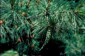 Picture of Eastern White Pine (Pinus strobus) fruit and leaf needle structure.