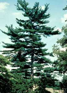 Picture of Eastern White Pine (Pinus strobus) tree mature form.