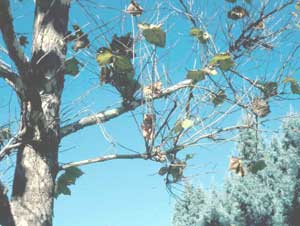 "Picture of London Planetree (Plantanus x acerifolia) branches showing ""witch's broom"" affects of anthracnose fungus disease."