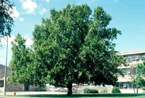 Picture of London Planetree (Plantanus x acerifolia) tree form.