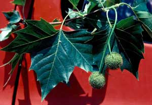 Picture closeup of London Planetree (Plantanus x acerifolia) leaves and fruit showing two fruit balls per stalk.