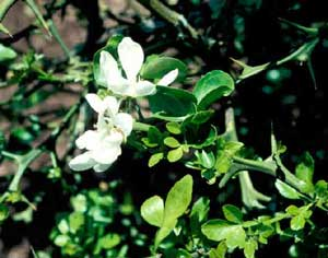 Picture closeup of Hardy-Orange (Poncirus trifoliata) white flowers and leaves.